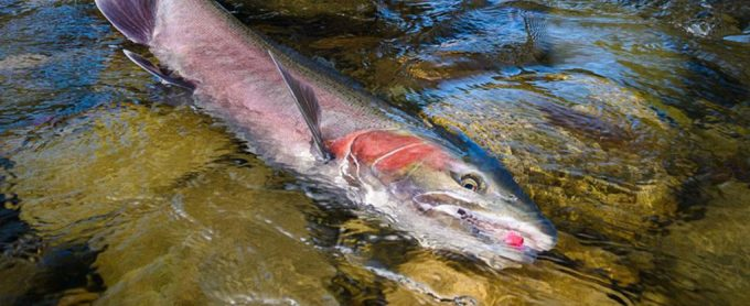 A beautiful babine River wild Steelhead