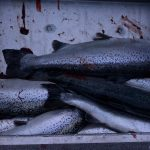 An evening's catch of farm raised Atlantic salmon. WDFW is urging area sportfishers to keep as many Atlantic salmon as they can, helping to clean up the mess of fish released from Cooke Aquaculture's failed net pen.