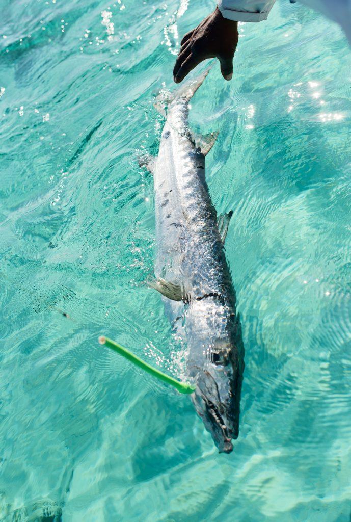Barracuda, bahamas, South Andros, Flyfishing
